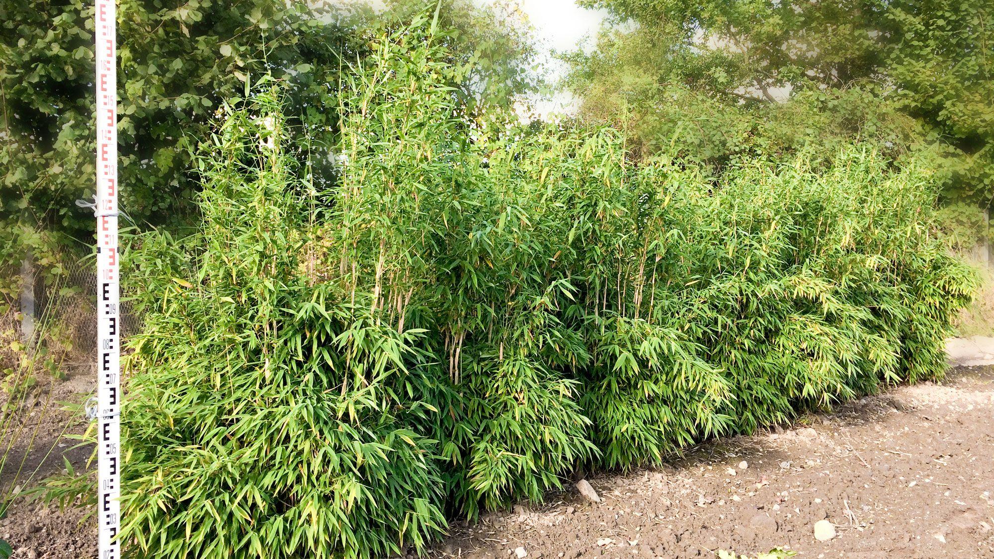 Bambus, Fargesia  -Simba-  H 125-150...........79,- € / St
