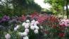 rhododendron-vielfalt