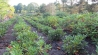 Rhododendron Freiland 2