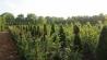 Heckenpflanzen Eiben Thuja Buchen